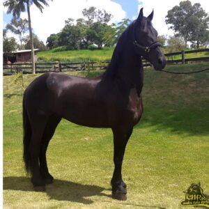 LINDO CAVALO FRIESIAN CASTRADO PELAGEM NEGRA @Friesian Horses @Cavalos Helio Rocha 
