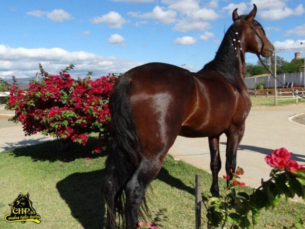 CAVALO MANGALARGA MARCHADOR R V R DA SERRA GERAL MARCHA BATIDA @Cavalos Helio Rocha