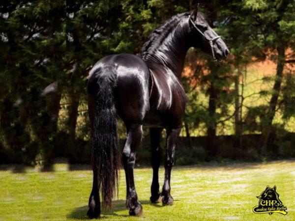 CAVALO GARANHAO FRIESIAN BEM TE VI VENDA DE COBERTURA @Friesian Horses @Cavalos Helio Rocha 